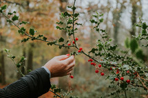 picking holly red berries