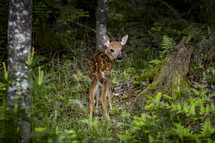 fawn in a forest