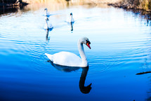 a swan floating on water