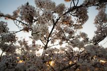 Tree blooming in spring