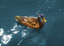 mallard duck on sunlit water