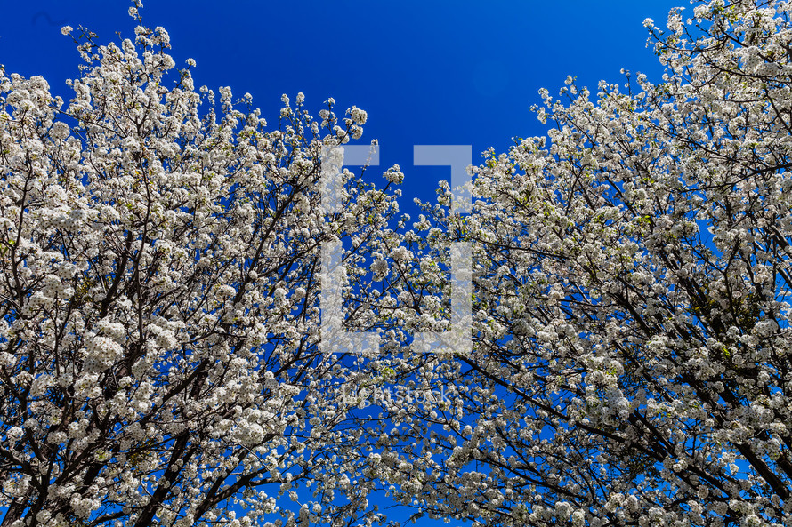 Tree blooming in the Spring cherry blossom blue sky