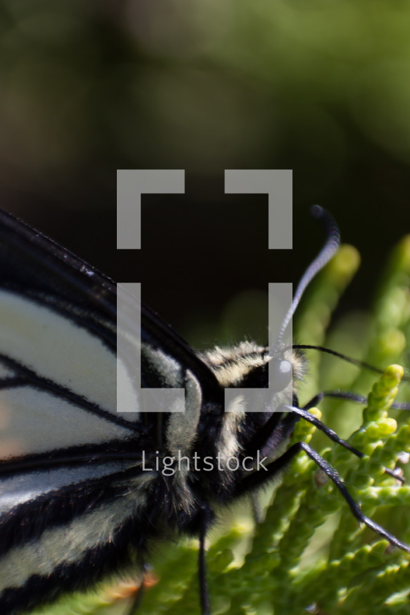 A black and white butterfly.