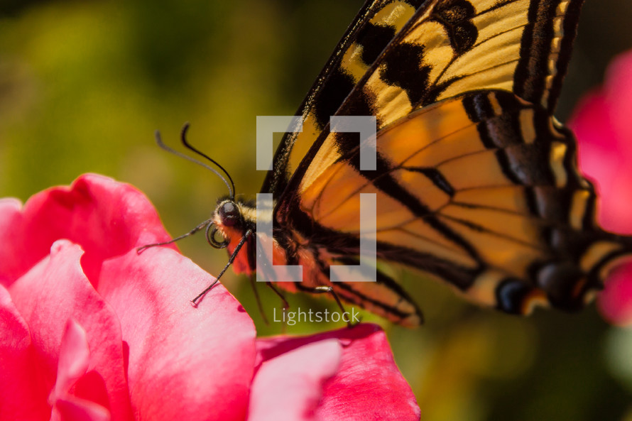 Butterfly on a pink rose