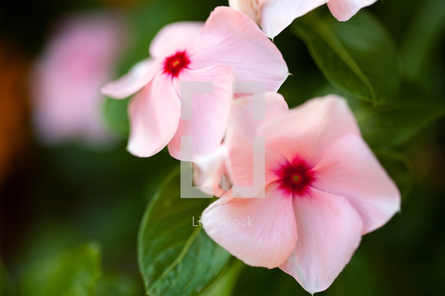 Pale pink flowers with green leaves