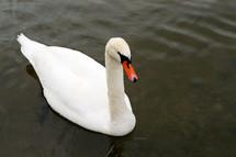 white swan on a lake