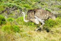 A ostrich