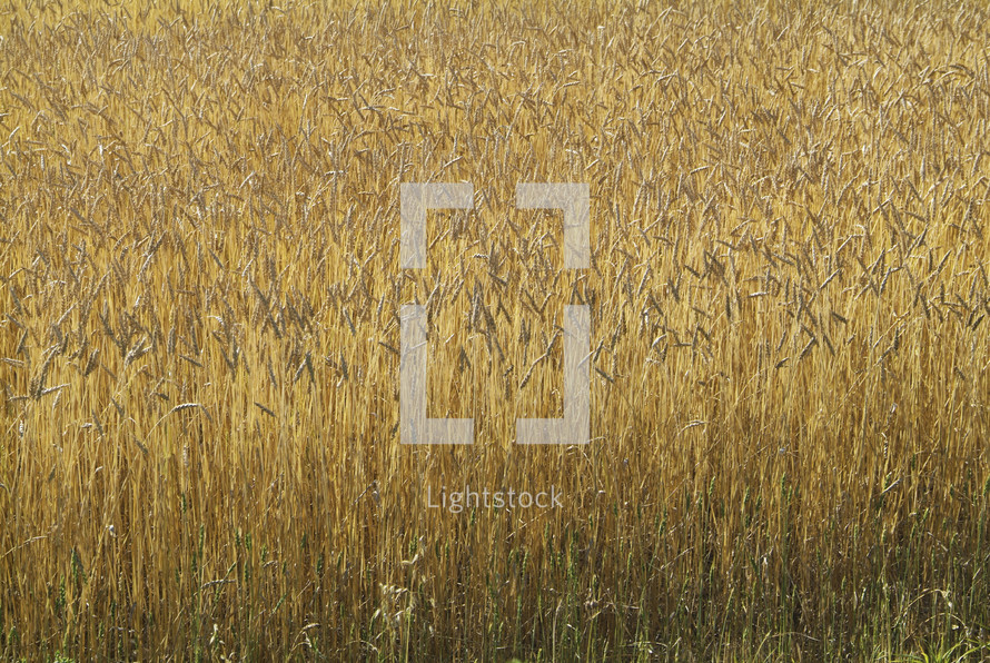 Wheat field at harvest time