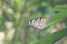 Black and white butterfly, resting on a leaf