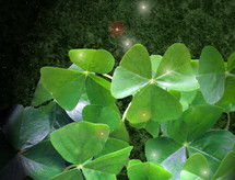 Oxalis shamrocks; three-leaf clovers.