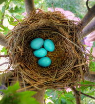blue robin eggs in a nest]