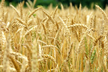 golden wheat grains in a field