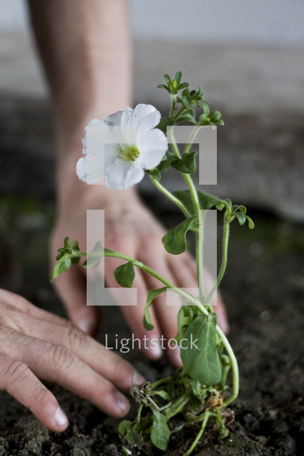 Hands planting flower into dirt.