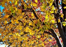 Beautiful gold, yellow and red leaves changing colors on a tree announcing the return of fall or autumn in Virginia.