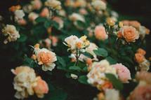 peach roses on a bush