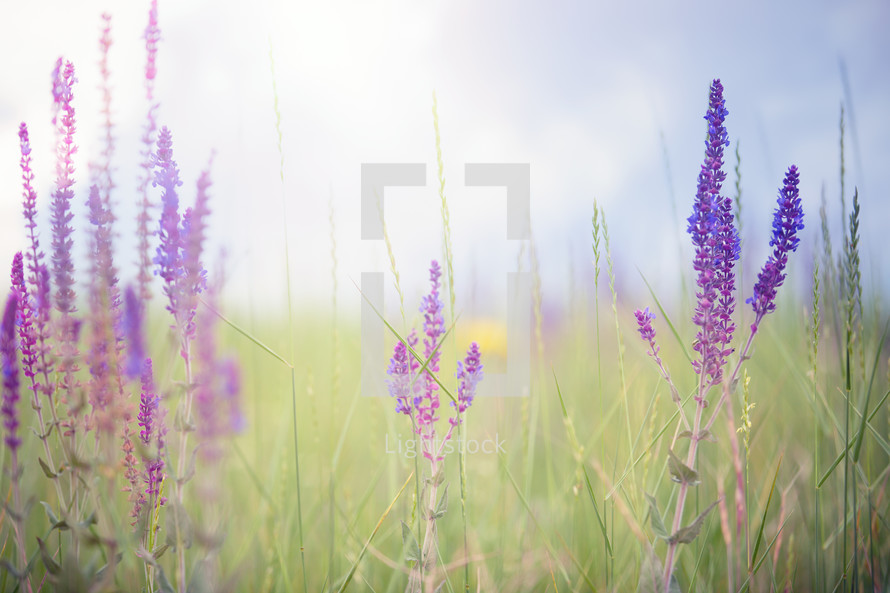 lavender flowers in a field