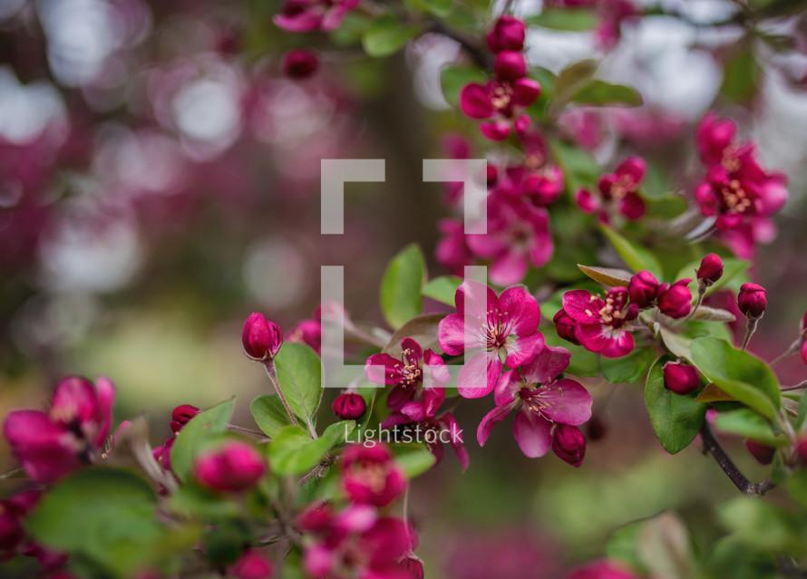 fuchsia flowers on a tree branch
