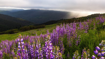 purple wildflowers on a mountaintop at sunrise