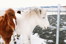 fuzzy ponies in Iceland