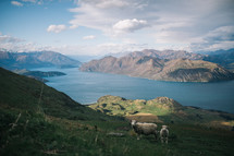 sheep on a mountainside in New Zealand