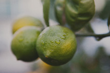 Limes on a plant