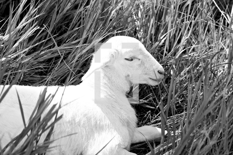 lamb resting in grass