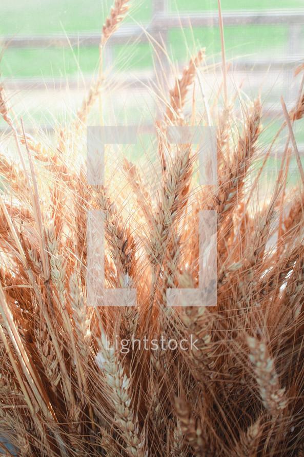sunlight on wheat