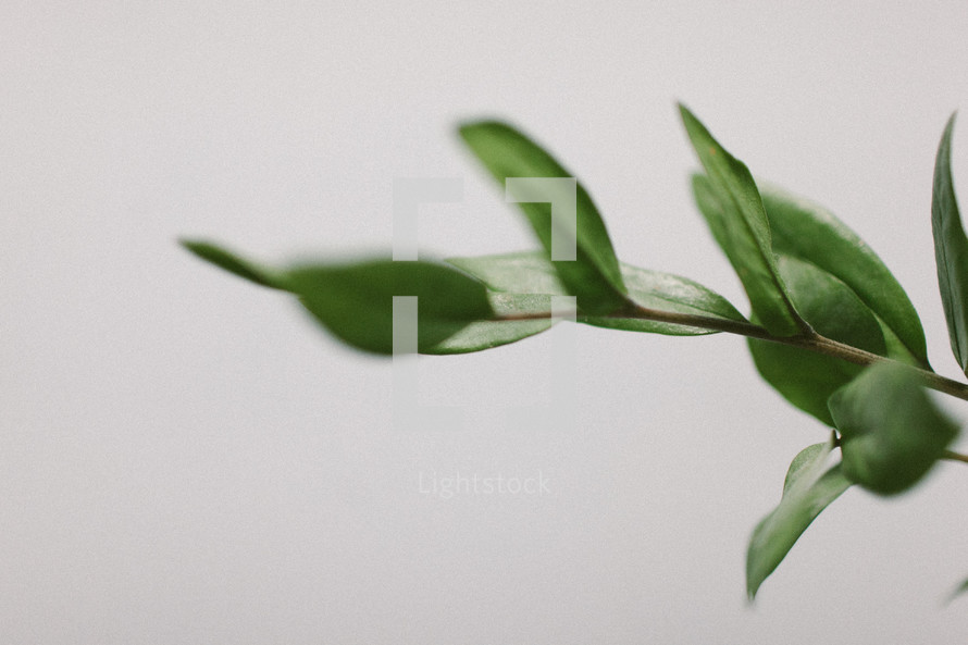 A stem of green leaves on a white background.