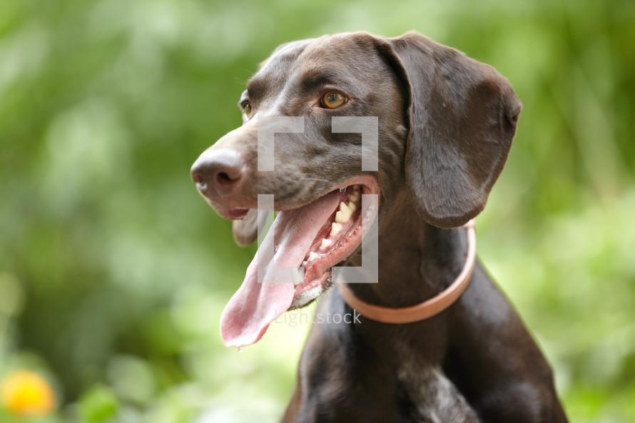 panting dog