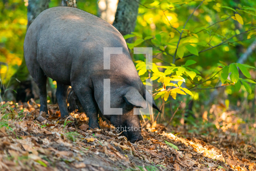 pig looking for truffles