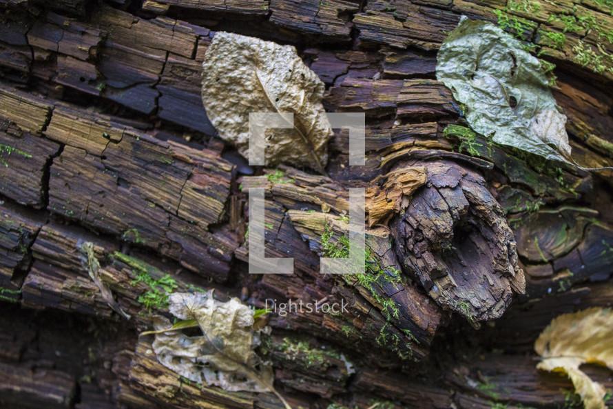 decomposing log