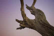old tree at dusk