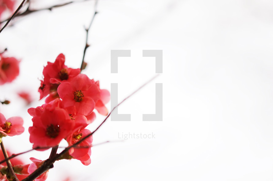 pink flowers on a branch