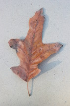 brown fall leaf on concrete