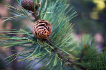 An evergreen branch with pine cones.