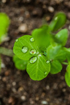 Raindrops on leaves water drops green clover