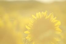 sun glare on sunflowers