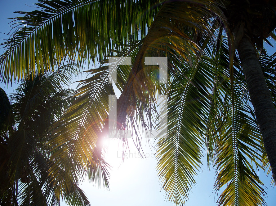 Palm Tree Fronds in the summer sun