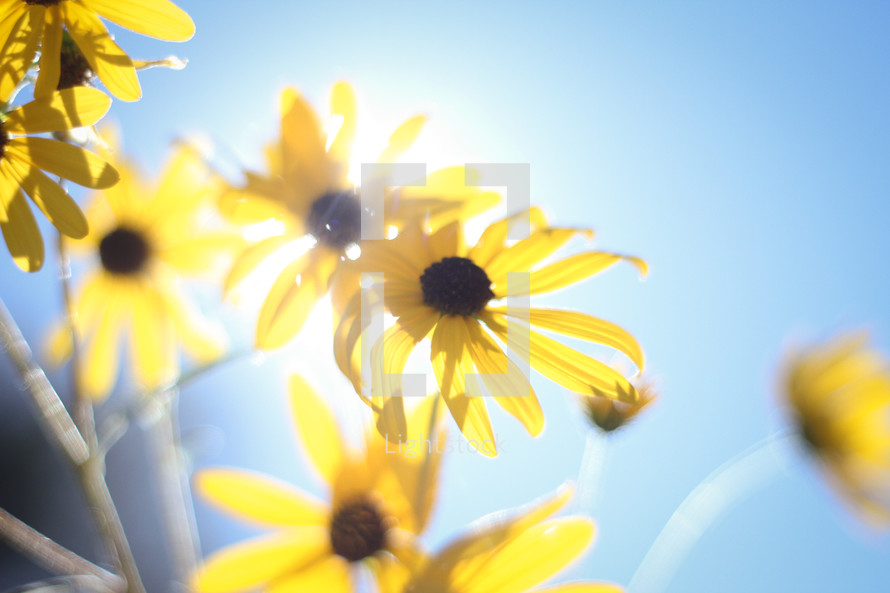 yellow flowers and sunlight