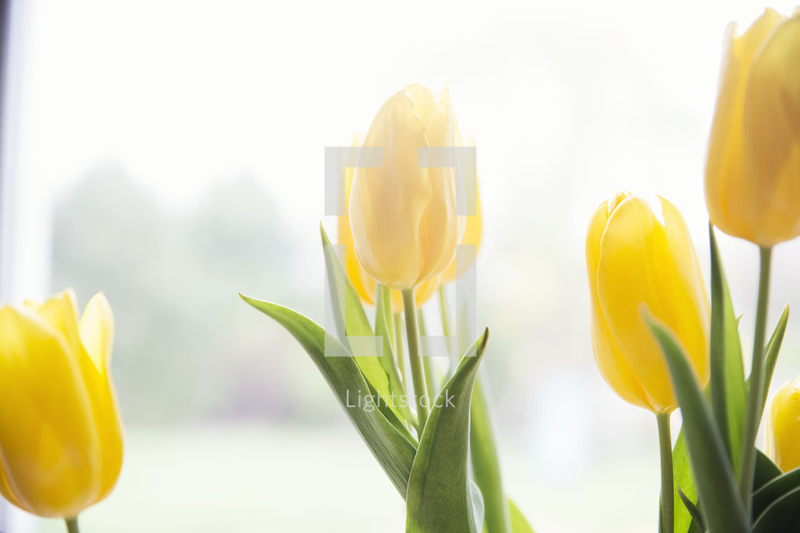 blooming yellow tulips.