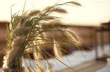 Dry wheat plant in a jar
