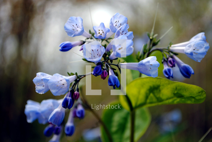 Blue cowslips, also called Virginia bluebells.