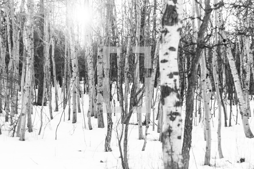 trees in a snow covered forest