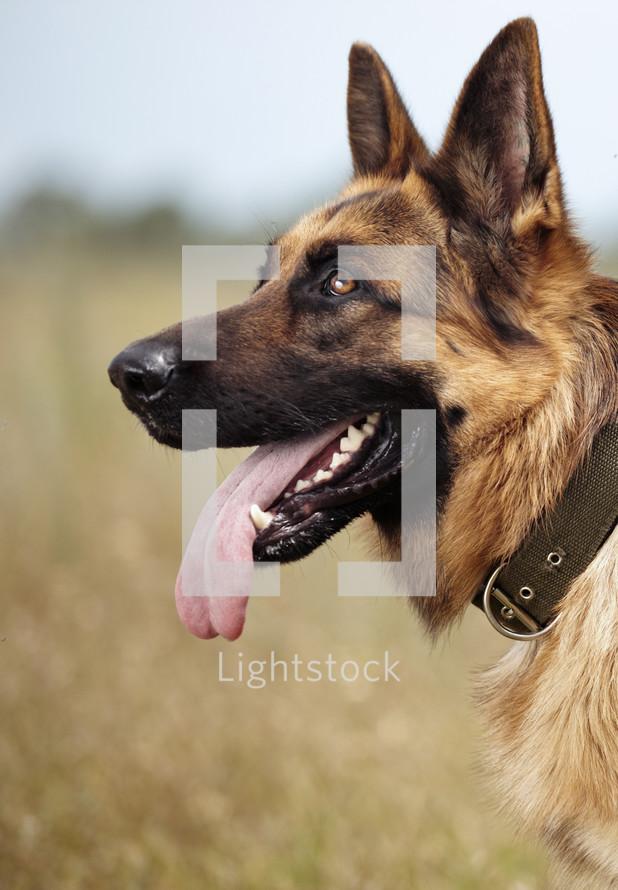 panting German Shepherd