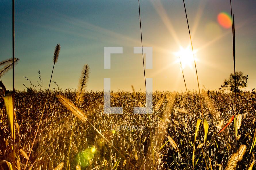 sunburst over a field