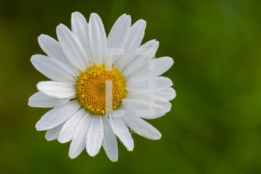white daisy outdoors