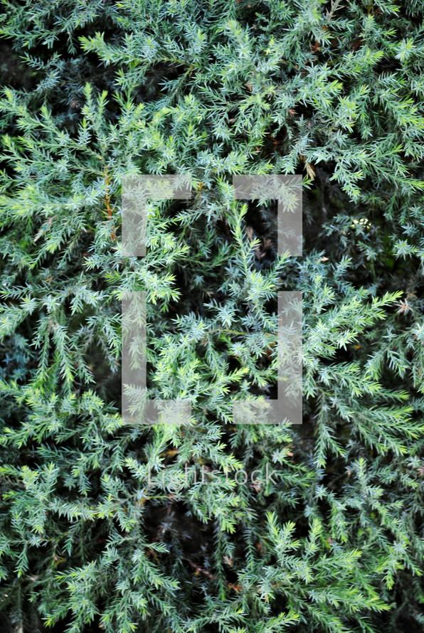 Closeup of cedar tree.