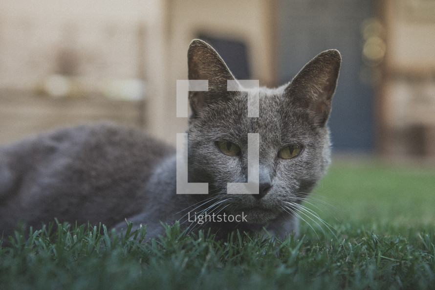 A gray cat laying in the grass