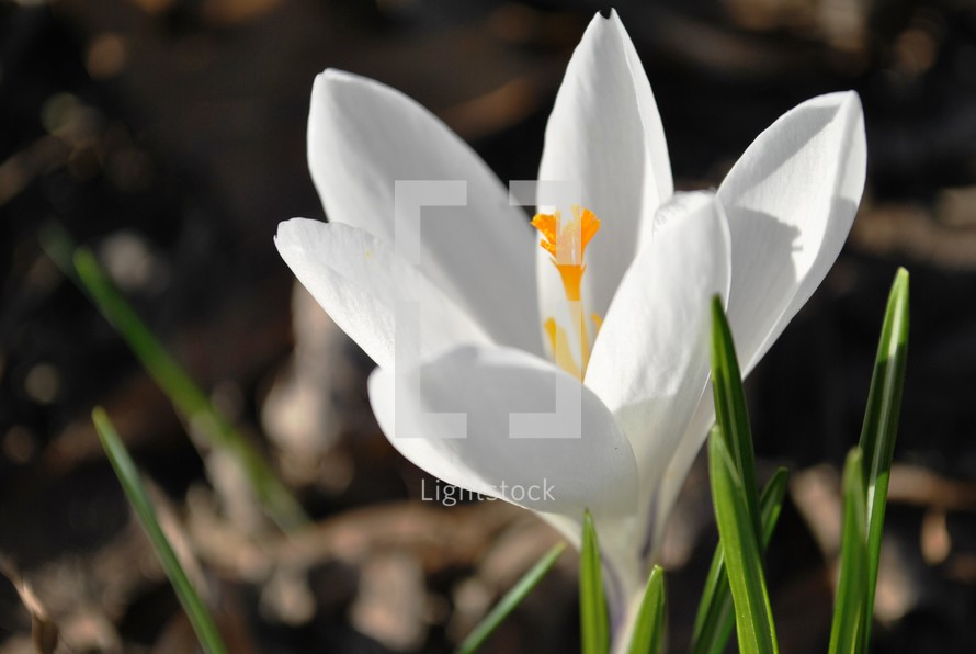 Crocus; first flower of spring.