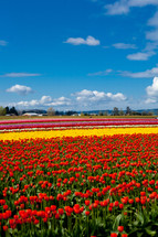 A field of red, yellow, and pink tulips